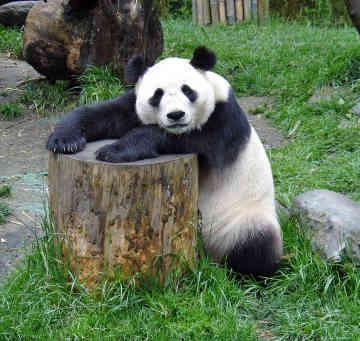panda-bear-0001